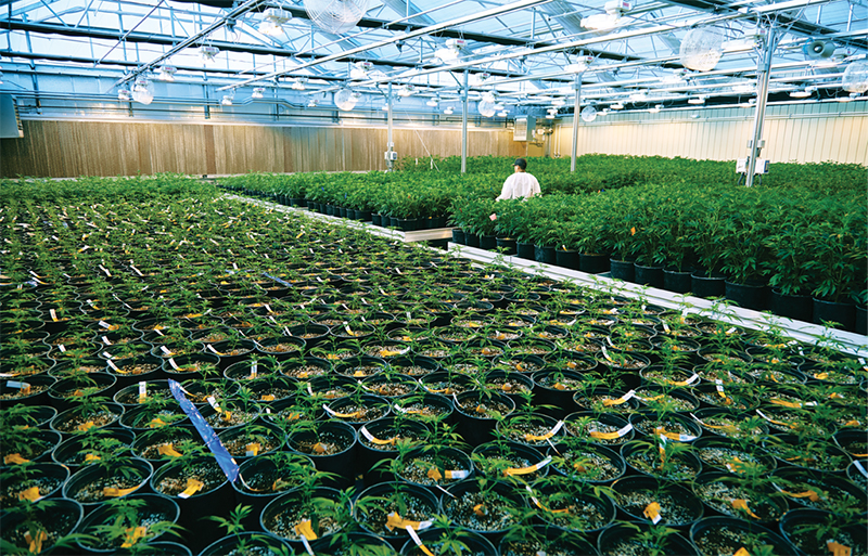 A farmer checking the growth of cannabis in a greenhouse facility